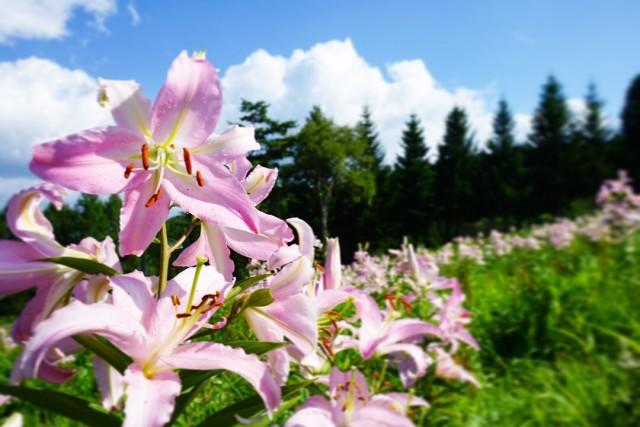 西日本最大級360万輪のゆりが咲き誇るダイナランドゆり園 夏季限定